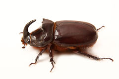 Bug-rhinoceros Royalty Free Stock Images