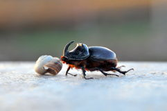 Bug - rhinoceros ordinary (Oryctes nasicornis) Royalty Free Stock Image