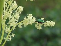 Bug on the rhubarb Stock Images