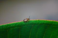 Bug on rim leaf Royalty Free Stock Photography