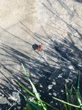 A bug on the road. A red bug on the road royalty free stock photography