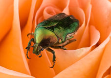 Bug on a rose Royalty Free Stock Image