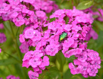 The bug a rose chafer sits on flowers of the Turkish carnation (Dianthus barbatus L.) Royalty Free Stock Images