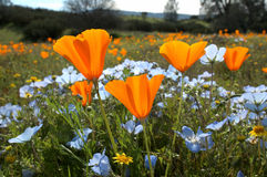 Bug's Eye View: California Poppy, Baby Blue Eyes, and Goldfields. A bug's eye view of a field of California spring wildflowers. Taken from the ground looking up Royalty Free Stock Images