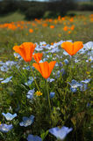 Bug's Eye View Vertical: California Poppy, Baby Blue Eyes, and Goldfields Stock Images