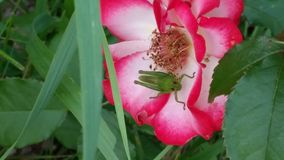 A bug's life. Grasshopper on a flower looking up Stock Photos