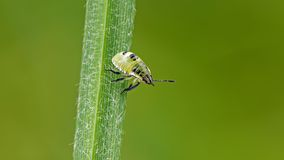 Bug's nymph Royalty Free Stock Image