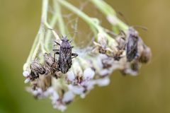 Bug. Scentless plant bug Rhopalus parumpunctatus on the flower. Close up stock photos