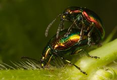 Bug sex Royalty Free Stock Photography