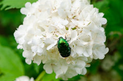 Bug sit on white flower wind swings inflorescence Royalty Free Stock Photography