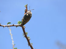 Bug squad scarabs on the branch. Stock Images