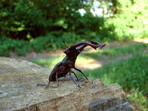 Bug-stag beetle 02 Stock Images