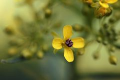 A bug stuck in a small yellow flower. stock photos