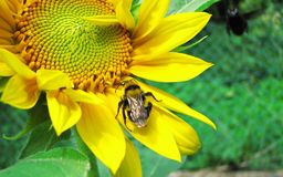 Bug on sunflower Royalty Free Stock Photo