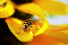 Bug on sunflower. This is a macro photo of a  bug  resting on a yellow sunflower Stock Photos