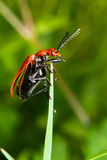 Bug take-off Royalty Free Stock Images