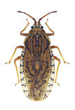 Bug Tingis pilosa Royalty Free Stock Photos