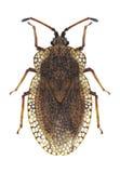 Bug Tingis reticulata Stock Images