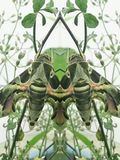 A bug on tree(miror effect). Daphis nerii has camouflage tropical zone Stock Photo