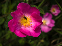 Bug on a violet flower. Black bug on a pink flower Stock Photo