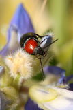 A bug walking on a flower. Black and red bug walking on a blue purple flower Stock Image