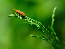 Nettle Weevil bug Stock Images