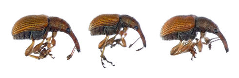Bug weevils royalty free stock photo