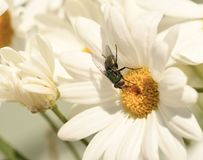 Bug on a white daisy stock images