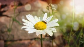 Soft white daisy flower in bloom a field and sun shine stock photos