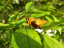 Butterfly. Bug wings are golden brown, perched on a leaf green Royalty Free Stock Image