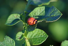 Bug the wrecker on potatoes leaves Stock Images