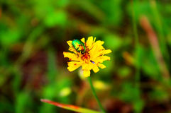 Bug (Cetonia aurata) on yellow flower Stock Image