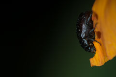 Bug on yellow flower. Night macro shot of a bug on a yellow flower Royalty Free Stock Image