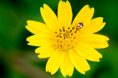 Bug on yellow flower Royalty Free Stock Image
