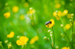 Bug on a yellow flower Royalty Free Stock Image