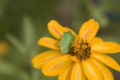 bug zielony południowego smród Fotografia Stock