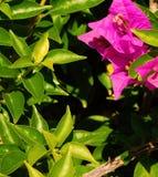 bugambilia树的绿色叶子 库存图片