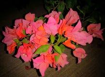 Bugambilias Zdjęcie Royalty Free