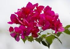 Buganvília Fotos de Stock Royalty Free