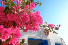 Buganvília bonita na ilha de Santorini, Oia, Grécia Fotografia de Stock
