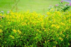 Buganvília com fundo verde da folha imagens de stock