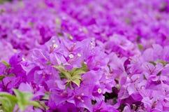 Buganvília cor-de-rosa Imagens de Stock