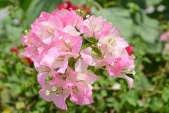 Buganvília cor-de-rosa Foto de Stock
