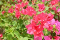Buganvília cor-de-rosa Imagens de Stock Royalty Free