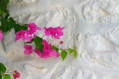 Buganvília cor-de-rosa Fotografia de Stock Royalty Free