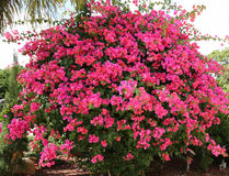 Buganvília cor-de-rosa Imagem de Stock