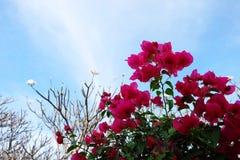 Buganvília cor-de-rosa (flor de papel) com céu azul Imagens de Stock