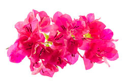 Buganvília de florescência Foto de Stock Royalty Free