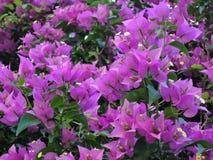 A buganvília de florescência floresce o fundo A buganvília floresce a textura e o fundo Árvore da buganvília da opinião do close- foto de stock royalty free