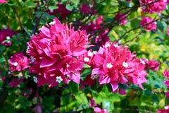 Buganvília, Fahrenheit de Fueng no jardim imagem de stock royalty free